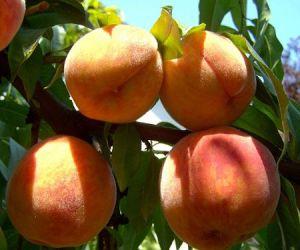Обрезка персиков весной и летом, опрыскивание от болезней