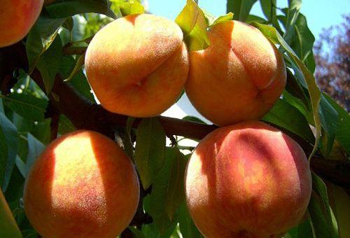 Уход за персиками