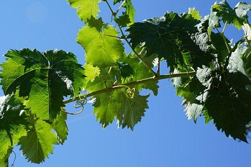 Зола – идеальное удобрение для винограда