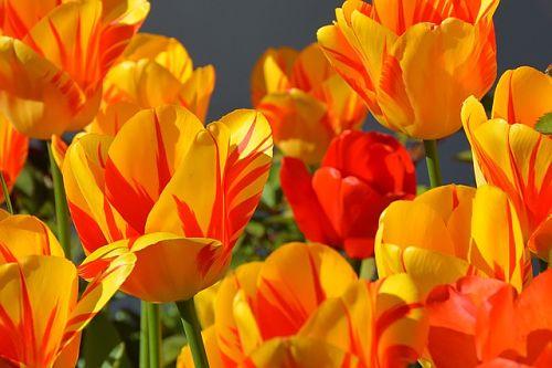 посадка тюльпанов схема