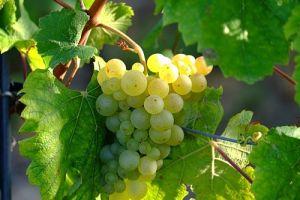 Как легко укоренить черенки винограда