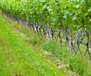 Какие растения стимулируют рост винограда