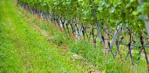 влияние других растений на виноград