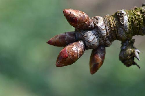 Чем опрыскать дерево до распускания почек