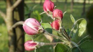 Опрыскивание деревьев весной от болезней и вредителей