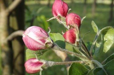 Чем опрыскать деревья перед цветением