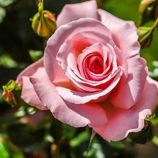 Почему роза не цветет