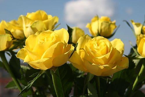 Как укоренить розы из букетов