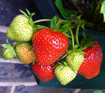 Як врятувати полуницю від гнилі