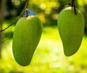 Выращивание манго из косточки в домашних условиях