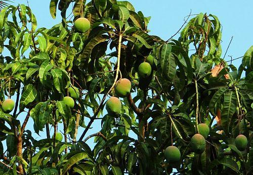 Уход за манго в квартире