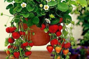 Клубника на балконе – технология выращивания