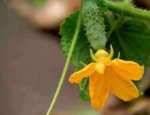 3 лучших удобрений для огурцов во время плодоношения