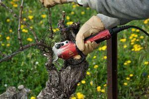 Как обрезать виноград – схема для начинающих