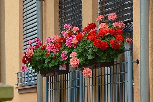 герань на балконе