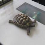 Die hauseigene Schildkröte im Fachbereich Biologie.
