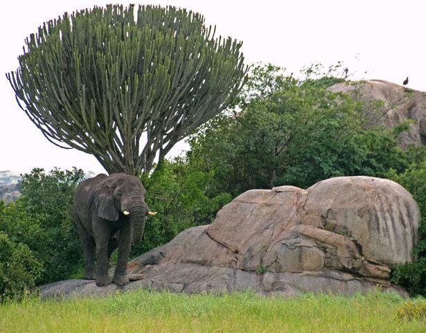 Serengeti - kopje - 214-1209994807GFU0