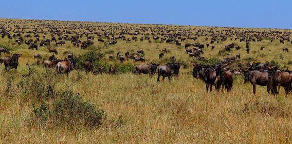 Wildebeest-during-Great-Migration