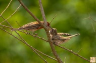 Male feeding fledgling