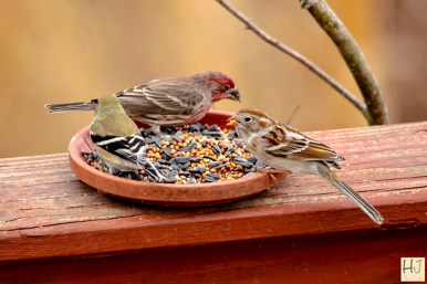 American Goldfinch, House Finch, Field Sparrow