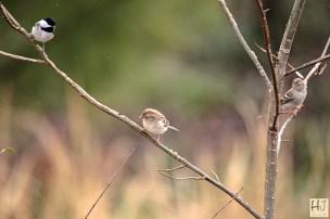 Carolina Chickadee, Field Sparrow