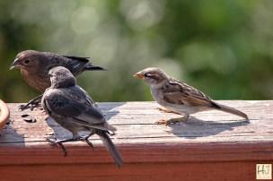 Brown-headed Cowbird, House Sparrow