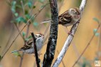 Chipping Sparrow, Field Sparrow