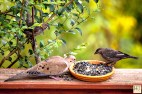 Mourning Dove, Brown-headed Cowbird