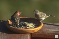 House Finches (M&F)