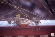 Chipping Sparrow and American Goldfinches