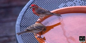 House Finch (M&F)
