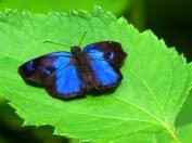 Paches Loxus 'Blue Skipper'