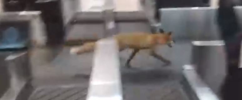 Fox invades Moscow's busy Domodedovo Airport 4