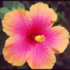 Brilliant hibiscus