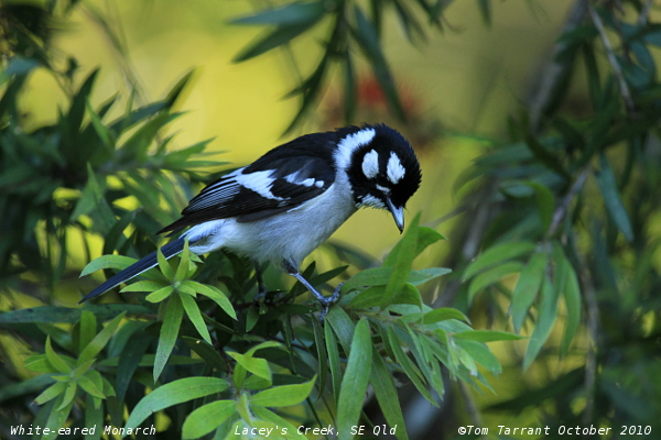 White-eared Monarch
