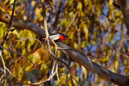 Mistletoebird