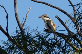 Red-backed Kingfisher