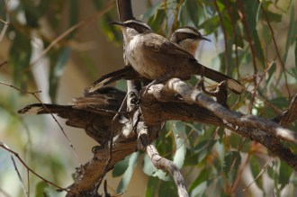 White-browed Babblers