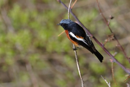 Phoenicurus schisticeps