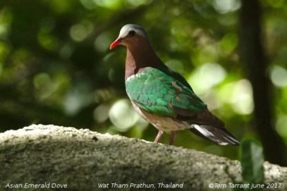Asian Emerald dove