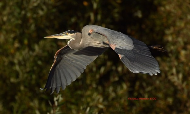 The Graceful Great Blue Herons