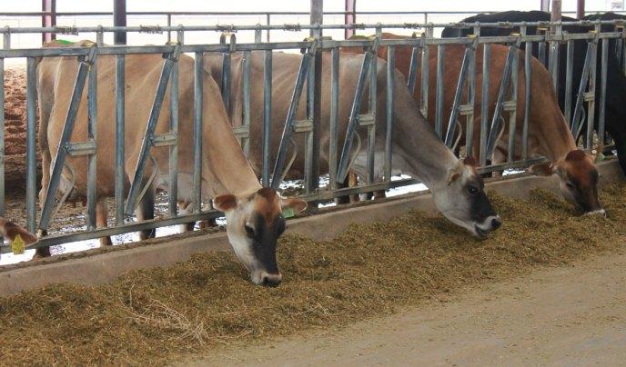 mature-cows-headlocks