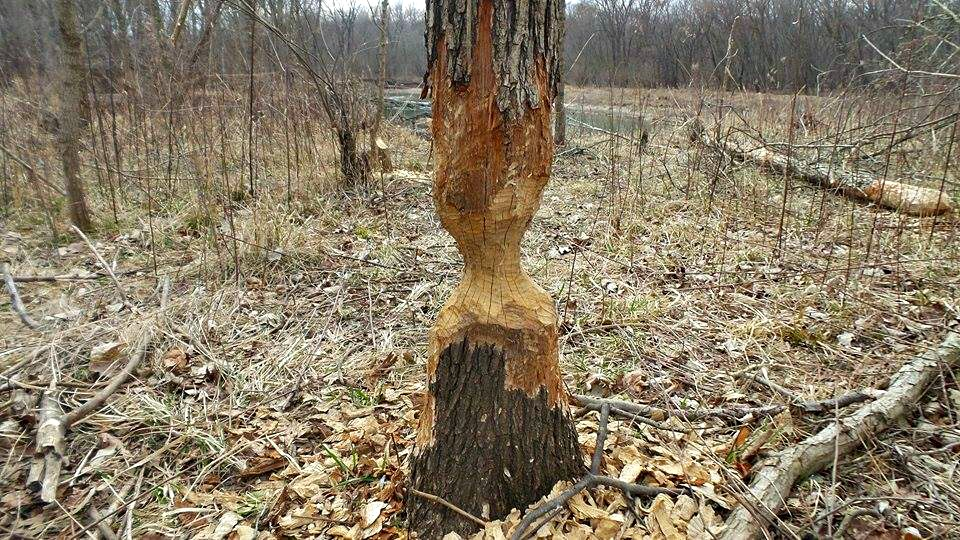 Beavers have been busy along the Embarrass.