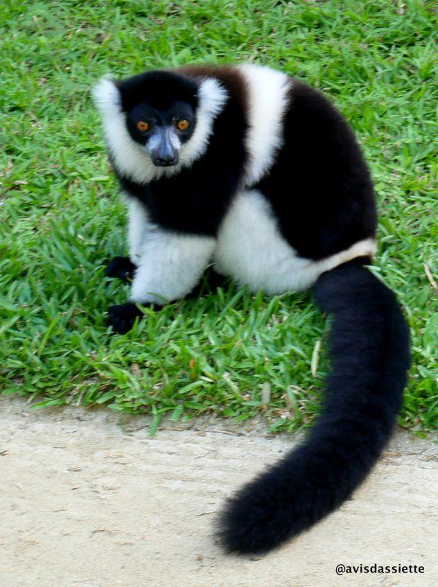 activites voyage ile aux natte sainte-marie madasgascar lemurien