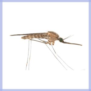 sintomi malattie zanzare