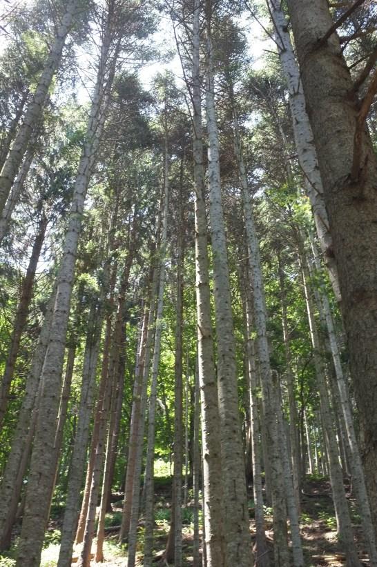 those big trees