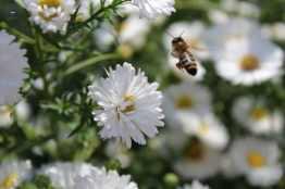 bienfaits du miel-abeille butinant