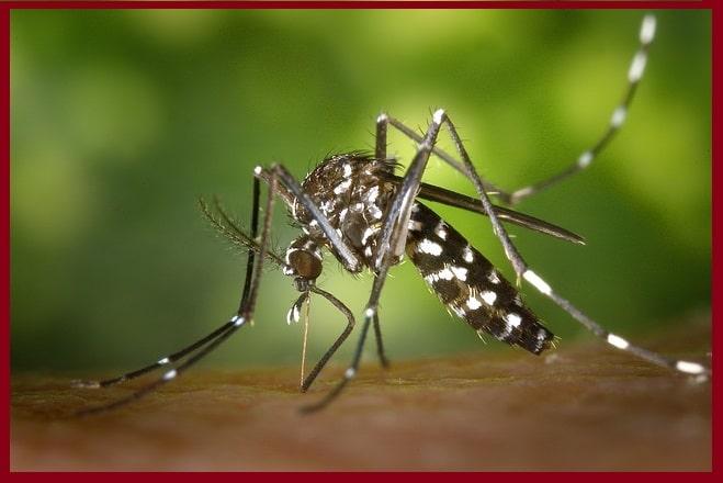 Moustique Tigre en France: maladies, piqûre,taille, risque et prévention.