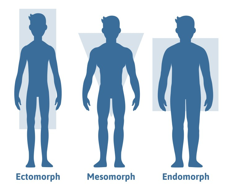 illustration of male body types:  ectomorph, mesomorph, endomorph