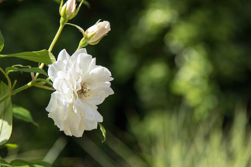 Rose dans les jardins du clos Lucé à Amboise - Avrilsurunfil